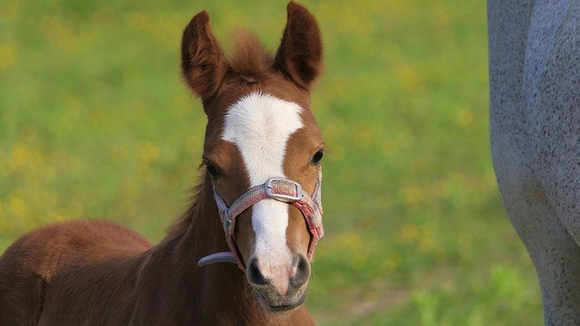 How much does a baby horse weigh